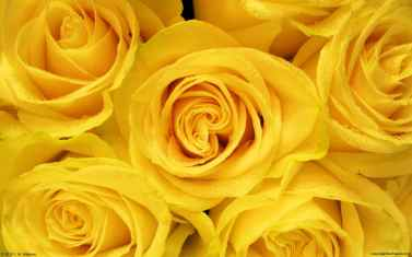 yellow-roses-wallpaper-2.jpg