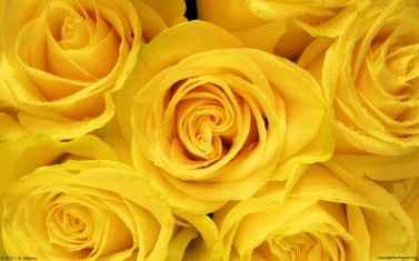 yellow-roses-wallpaper-2.jpg