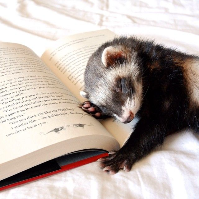 Ferrets: Truth, Myths, and StoriesAlike!